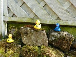 Breedon Summer Sunday The Grand Duck Race – Bravo and Thank You!